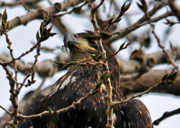 "<div class=""jaDesc""> <h4> Immature Bald Eagle Resting - November 10, 2014 </h4> <p>After he finished his meal, the immature Bald Eagle flew to a tall tree beside the road.  He had not cleaned off his beak. Photo taken at Montezuma NWR, NY.</p> </div>"