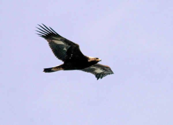"<div class=""jaDesc""> <h4>Immature Golden Eagle In-flight #1 - April 22, 2011 </h4> <p>I visited Derby Hill Bird Observatory on the southeastern shore of Lake Ontario and saw over 1000 migrating raptors during a 6 hour period. One of the highlights was this immature Golden Eagle. The distinguishing characteristics are a broad white tail band ending in black at the end of the tail and large white patches under the wings. He is heading to his summer range in northern Canada.</p> </div>"