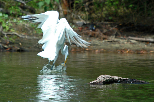 """<div class=""""jaDesc""""> <h4> Great Egret Catches Fish While In-flight - August 2006 </h4> </div>"""