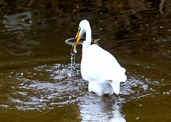 """<div class=""""jaDesc""""> <h4>Great Egret Catches BIG Fish - October 23, 2017</h4> <p>This fish was 6-7 inches long, a full meal.  Chincoteague  Wildlife Reserve, Virginia. </p> </div>"""