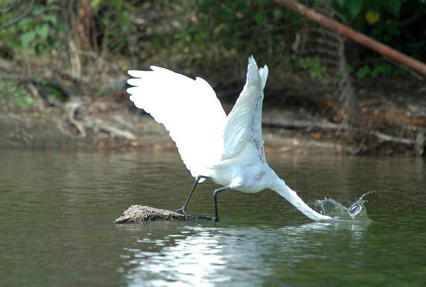"<div class=""jaDesc""> <h4> Great Egret Strikes Again - August 2006 </h4> </div>"