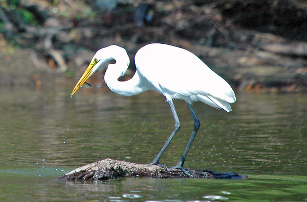 """<div class=""""jaDesc""""> <h4> Great Egret Gets Another Fish - August 2006 </h4> </div>"""