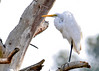 "<div class=""jaDesc""> <h4> Great Egret Resting - December 16, 2014 </h4> <p>This Great Egret was resting in a large dead tree by the side of the road in Chincoteague  Wildlife Reserve.</p> </div>"