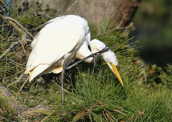 "<div class=""jaDesc""> <h4> Great Egret Scratching Neck - November 10, 2016 </h4> <p>It is amazing how easily this large bird balances on one leg while taking care of an itch.  Chincoteague  Wildlife Reserve, Virginia. </p> </div>"