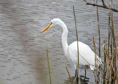Great Egret Ready to Strike - November 13, 2018 You can always tell by the concentration in the eye when they have locked onto their next catch, ready for a lighting strike.  Chincoteague Wildlife Preserve, VA.