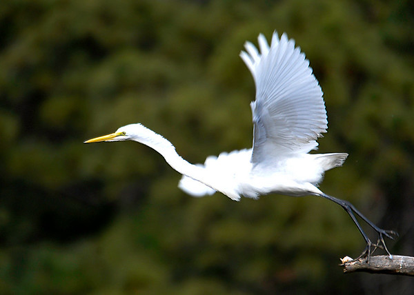 """<div class=""""jaDesc""""> <h4> Great Egret Take-off - December 16, 2014 </h4> <p> I visited Chincoteague  Wildlife Reserve to see the native wildlife.  This Great Egret on a perch beside the road decided to take-off.</p> </div>"""