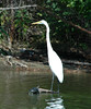 "<div class=""jaDesc""> <h4> Great Egret Has a Turtle Visitor - August 2006 </h4> </div>"