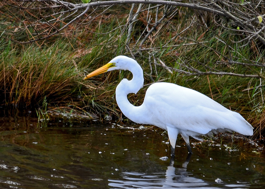 """<div class=""""jaDesc""""> <h4>Great Egret Catches Little Fish - October 23, 2017</h4> <p>This catch was just an hors d'oeurve. Chincoteague  Wildlife Reserve, Virginia. </p> </div>"""