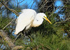 "<div class=""jaDesc""> <h4> Great Egret in Pine Tree - November 10, 2016 </h4> <p>There were 6 Great Egrets perched  in pine trees along a stream on a sunny afternoon in Chincoteague  Wildlife Reserve, Virginia. </p> </div>"