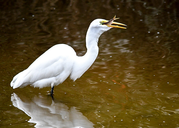 """<div class=""""jaDesc""""> <h4>Great Egret Swallowing BIG Fish - October 23, 2017</h4> <p>Fish is part way down the throat. </p> </div>"""