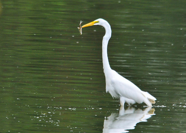 """<div class=""""jaDesc""""> <h4> Great Egret Catches Fish - September 4, 2012 </h4> <p> This is one of six Great Egrets that were spread out across the back water at Octoraro Lake in Lancaster County, PA.  He was slowly walking around in 18 inches of water catching a fish about every 5 minutes.</p> </div>"""