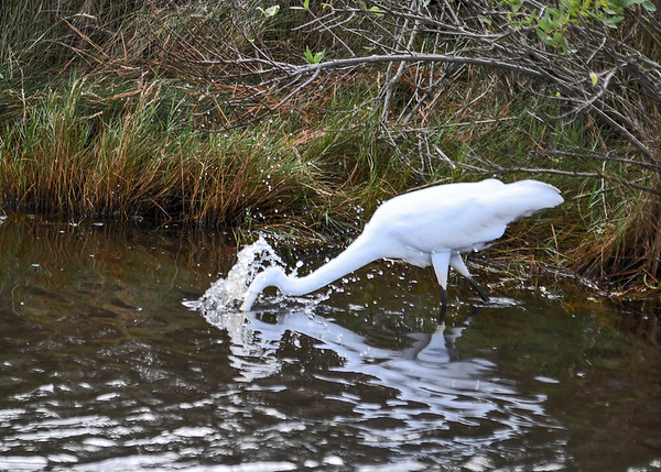 "<div class=""jaDesc""> <h4>Great Egret Strikes - October 23, 2017</h4> <p>Even a high shutter speed barely stopped the action on her lightning fast strike at a fish.  Chincoteague  Wildlife Reserve, Virginia. </p> </div>"