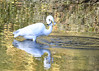 "<div class=""jaDesc""> <h4> Great Egret Showing Off Catch - November 9, 2016</h4> <p> This Great Egret was walking around in the shallow stream displaying his catch.  See Great Egret Fishing slideshow under Bird Slideshows for the full sequence.</p> </div>"