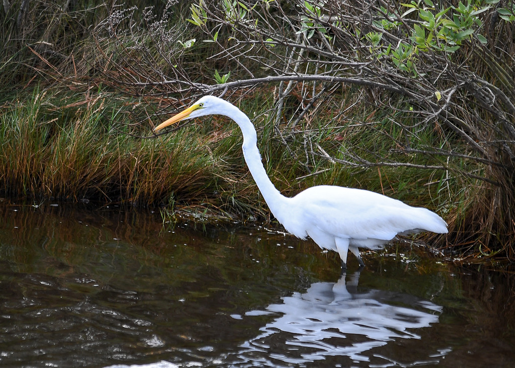 """<div class=""""jaDesc""""> <h4>Great Egret Fishing - October 23, 2017</h4> <p>This is what a Great Egret looks like when she has locked onto a fish, very intense focus.  Chincoteague  Wildlife Reserve, Virginia. </p> </div>"""