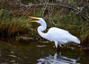 "<div class=""jaDesc""> <h4>Great Egret Swallows Little Fish - October 23, 2017</h4> <p>She opened her bleak and flicked her head backwards to toss the little fish into her throat.  Chincoteague Wildlife Reserve, Virginia. </p> </div>"