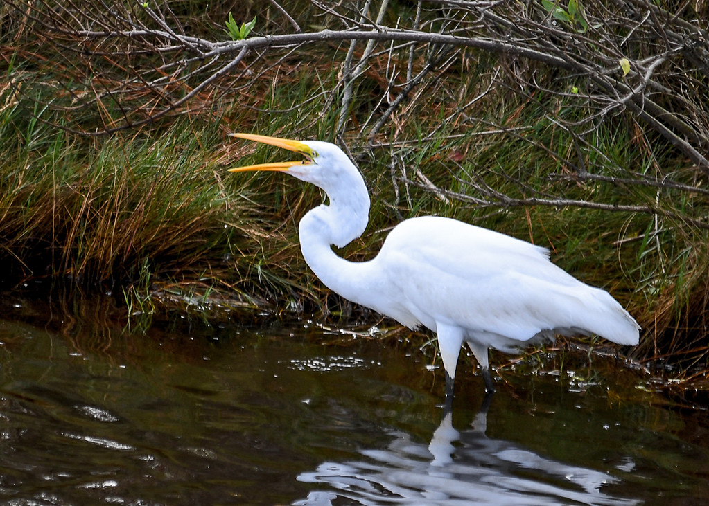 """<div class=""""jaDesc""""> <h4>Great Egret Swallows Little Fish - October 23, 2017</h4> <p>She opened her bleak and flicked her head backwards to toss the little fish into her throat.  Chincoteague Wildlife Reserve, Virginia. </p> </div>"""