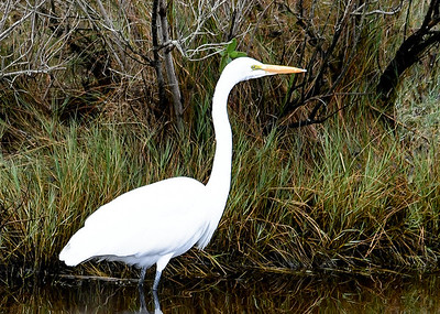 Great Egret Patiently Hunting - November 13, 2018 Closer in look .  Chincoteague Wildlife Preserve, VA.