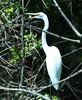 "<div class=""jaDesc""> <h4> Great Egret Hiding in Brush - August 2006 </h4> </div>"