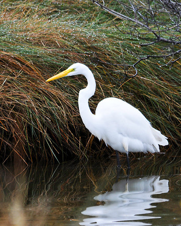 """<div class=""""jaDesc""""> <h4> Great Egret Hunting on Assateague Island - November 7, 2013 </h4> <p> This Great Egret was hunting in a roadside ditch on the southern end of Assateague Island in Virginia.  The morning light was just right, and he was totally focused on scanning for fish - paying no attention to me.</p> </div>"""