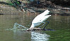 "<div class=""jaDesc""> <h4> Great Egret Strikes the Other Way - August 2006 </h4> </div>"