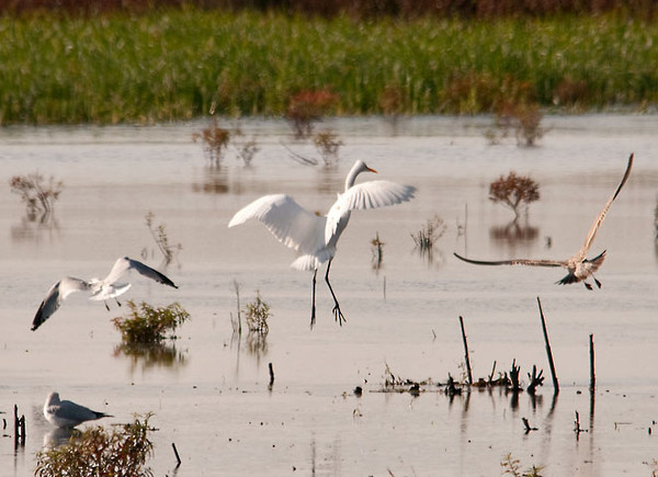 """<div class=""""jaDesc""""> <h4> Great Egret Landing at Fishing Spot - October 28, 2011 </h4> <p> This Great Egret was moving from one fishing spot to another. She is flanked by a Ring-billed Gull on the left and a Herring Gull on the right.</p> </div>"""