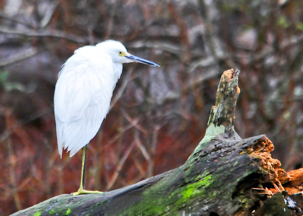 """<div class=""""jaDesc""""> <h4> Snowy Egret - Statue-like Pose - November 7, 2013 </h4> <p> This Snowy Egret was all by himself on a perch in the ditch beside the road on Assateague Island along the Virginia coast.  He was like a statue, not moving at all for the entire 10 minutes that I watched him.</p> </div>"""