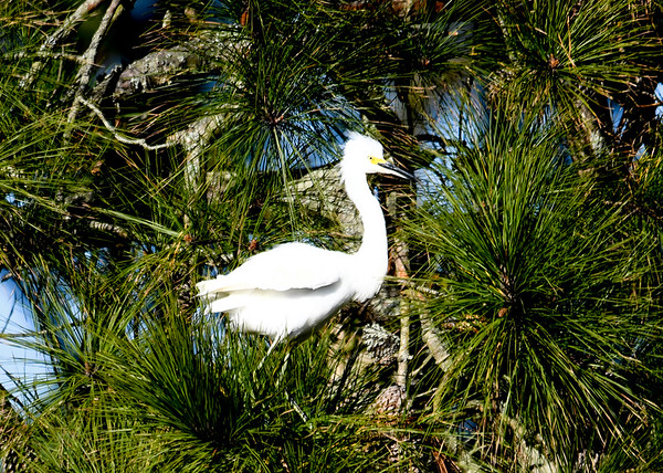 """<div class=""""jaDesc""""> <h4> Snowy Egret in Pine Tree - November 10, 2016 </h4> <p>One Snowy Egret joined 6 Great Egrets in the line of pine trees along a roadside stream at Chincoteague  Wildlife Reserve, Virginia. </p> </div>"""