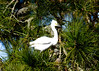 "<div class=""jaDesc""> <h4> Snowy Egret in Pine Tree - November 10, 2016 </h4> <p>One Snowy Egret joined 6 Great Egrets in the line of pine trees along a roadside stream at Chincoteague  Wildlife Reserve, Virginia. </p> </div>"