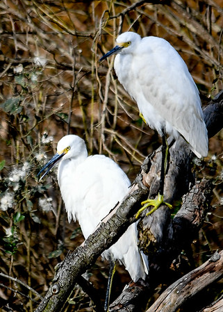 Snowy Egret Pair on Perch - November 8, 2018  A pair of  Snowy Egrets were perched together along a stream at Chincoteague Wildlife Reserve, VA.