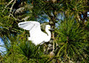 "<div class=""jaDesc""> <h4> Snowy Egret Wings Up - November 10, 2016 </h4> <p>The Snowy Egret raised his wings to maintain his balance as he shifted his position on the branch.</p> </div>"