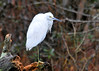 "<div class=""jaDesc""> <h4> Snowy Egret Looking Forward - November 7, 2013 </h4> <p></p> </div>"