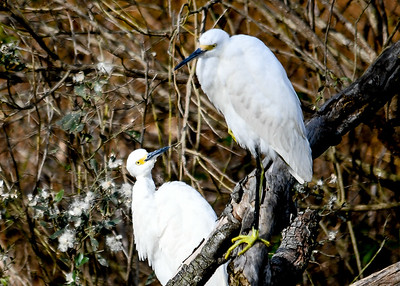 Snowy Egret Pair Looking at Each Other - November 8, 2018  They seemed to have a loving look.