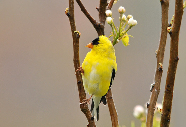 """<div class=""""jaDesc""""> <h4> Male Goldfinch in Blooming Pear Tree - April 25, 2010</h4> <p> The number of Goldfinches in our yard has jumped from 4 to 16 in the past few days.  Many of the males have their full breeding plumage.  The competition for the 4 females is heating up.</p> </div>"""