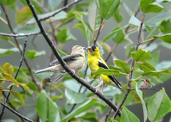 """<div class=""""jaDesc""""> <h4>Juvenile Goldfinch Ready for a Bite - September 2, 2019</h4> <p>She continued to flutter her wings as Dad gets ready to feed her. </p></div>"""