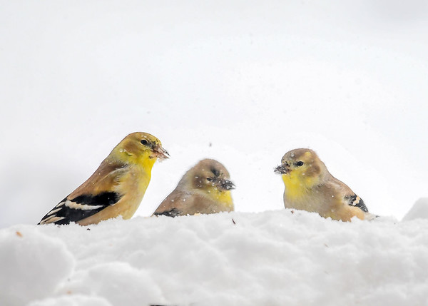 """<div class=""""jaDesc""""> <h4>Goldfinches in Blowing Snow  - January 13, 2018</h4> <p>The snow was blowing horizontally in 30 MPH wind and 10 degrees.  We had 24 Goldfinches show up to chow down on finch mix trying to stay warm.</p></div>"""