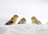 "<div class=""jaDesc""> <h4>Goldfinches in Blowing Snow  - January 13, 2018</h4> <p>The snow was blowing horizontally in 30 MPH wind and 10 degrees.  We had 24 Goldfinches show up to chow down on finch mix trying to stay warm.</p></div>"