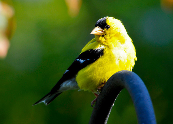"""<div class=""""jaDesc""""> <h4> Dad Goldfinch Getting a Break - August 30, 2013</h4> <p> Dad Goldfinch is being followed everywhere by 2 youngsters.  They cheep constantly, begging to be fed.</p> </div>"""