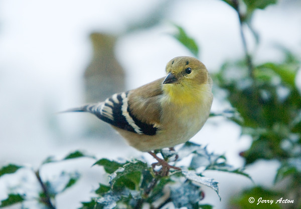 """<div class=""""jaDesc""""> <h4>Male Goldfinch in Holly Bush - January 4, 2009</h4> <p> This is the male Goldfinch with """"freckles"""" on his forehead that I posted before.  I guess he is going to keep them for the winter.  He was foraging for sunflower seeds in our holly bush. </p> </div>"""