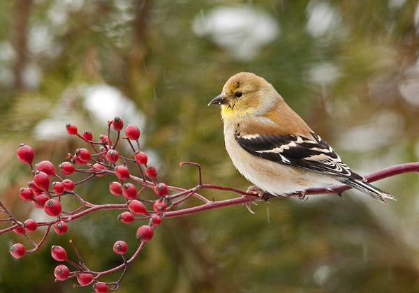"""<div class=""""jaDesc""""> <h4> Goldfinch on Wild Rose Branch - January 20, 2012</h4> <p> This male Goldfinch is already starting to sprout some black on his head and gold on his chin. By mid-March he will be in his full summer plumage.</p> </div>"""