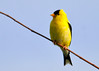 "<div class=""jaDesc""> <h4>Goldfinch Posing on Twig -June 20, 2014</h4> <p>We are up to 12 Goldfinches on a regular basis now.  They go through a pint of finch delight seed mix every day.</p> </div>"