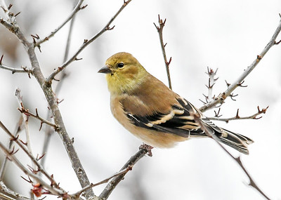 Male Goldfinch in Winterberry Bush - January 18, 2020 Berries are all gone.