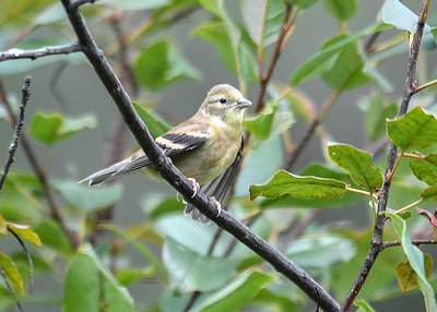 Juvenile Goldfinch - September 2, 2019 This bird looked like a juvenile, but I was not sure.