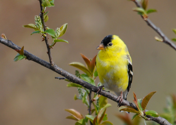 """<div class=""""jaDesc""""> <h4>Male Goldfinch in Wild Cherry Tree - April 28, 2016</h4> <p>He is almost finished molting.  Notice the cherry blossoms clusters forming.</p></div>"""