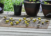 "<div class=""jaDesc""> <h4>Goldfinch Lunch - June 9, 2016</h4> <p>I sprinkle finch mix on a mat on our back porch.  It is a favorite dining spot for our flock of Goldfinches.</p></div>"