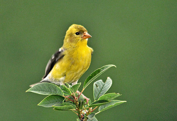 """<div class=""""jaDesc""""> <h4>Female Goldfinch in Treetop - June 26, 2010</h4> <p> We still have 6 pair of Goldfinches visiting daily. This female stopped in the top of our cherry tree sapling to survey the area.</p> </div>"""