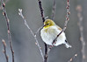 """<div class=""""jaDesc""""> <h4> Goldfinch Fluffball - January 26, 2014</h4> <p>We have four Goldfinch regulars now that the temperature has dropped dramatically.  They feast on thistle seed and sunflower chips all day long.  When not eating, they fluff up to twice their normal size to stay warm.</p> </div>"""