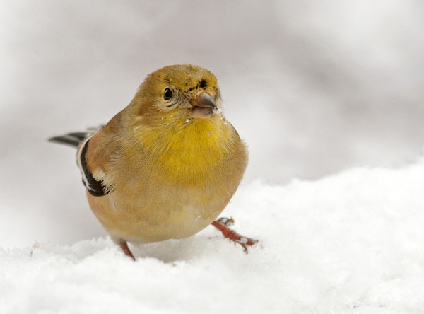"""<div class=""""jaDesc""""> <h4> Goldfinch in Snow - January 14, 2012</h4> <p>  The small flock of Goldfinches are coming to our feeders regularly now that we have more snow and the temperature has dropped into the teens. They enjoy the mix of thistle seed and sunflower chips that I put out.</p> </div>"""
