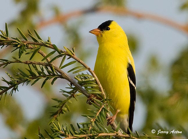 """<div class=""""jaDesc""""> <h4>Male Goldfinch Singing - May 11, 2009</h4> <p>The male Goldfinches are now in their bright yellow breeding plumage.  This pretty fella was singing for about 5 minutes in the top of our hemlock tree. </p> </div>"""