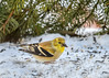 "<div class=""jaDesc""> <h4>Goldfinch with Sunflower Seed - January 6, 2017</h4> <p>We have one lone Goldfinch hanging around.  The other five disappeared when the Goshawk flew by a few times over the Christmas holiday.</p></div>"