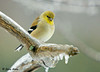 "<div class=""jaDesc""> <h4>Male Goldfinch in Freezing Rain - January 7, 2009</h4> <p> The Goldfinches did not seemed to be fazed by the ugly freezing rain this morning. </p> </div>"